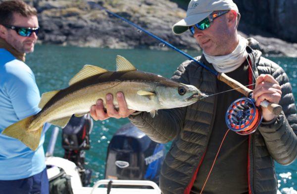 fly fishing in the sea, pollock on fly, fly fishing for predators, Orvis guide near Edinburgh