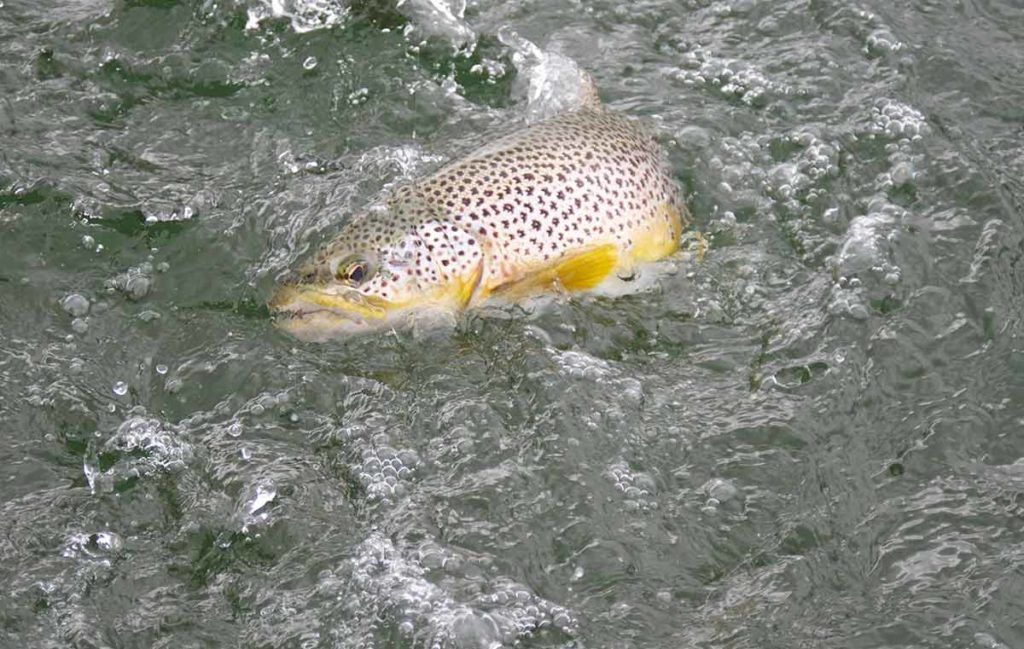 Wild Brown Trout, trout fishing, Scotland, best fishing spots, best trout fishery, fishing guide, trout fishing near Edinburgh, Orvis UK, Alba Game Fishing, fishing holidays Scotland, Fishing Vacations, best trout flies, Wild Trout techniques