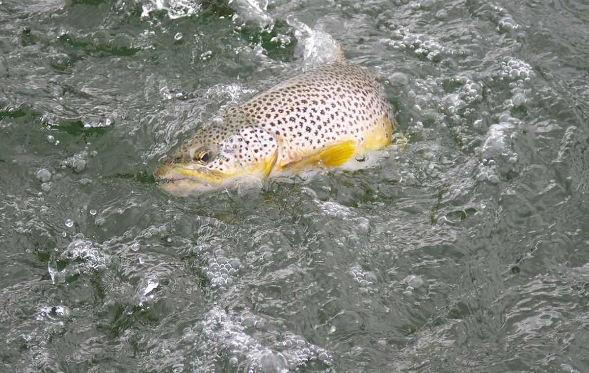 Wild Brown Trout, trout fishing, Scotland, best fishing spots, best trout fishery, fishing guide, trout fishing near Edinburgh, Orvis UK, Alba Game Fishing, fishing holidays Scotland, Fishing Vacations, best trout flies, Wild Trout techniques