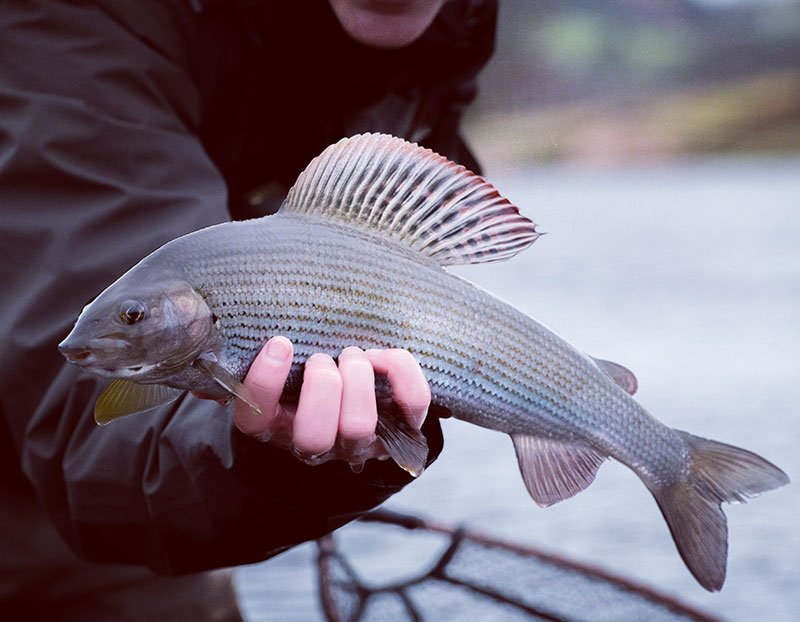 grayling, dorsal fin, winter fishing, river tweed, fly fishing, Scotland, Fishing trips, Orvis Endorsed guides