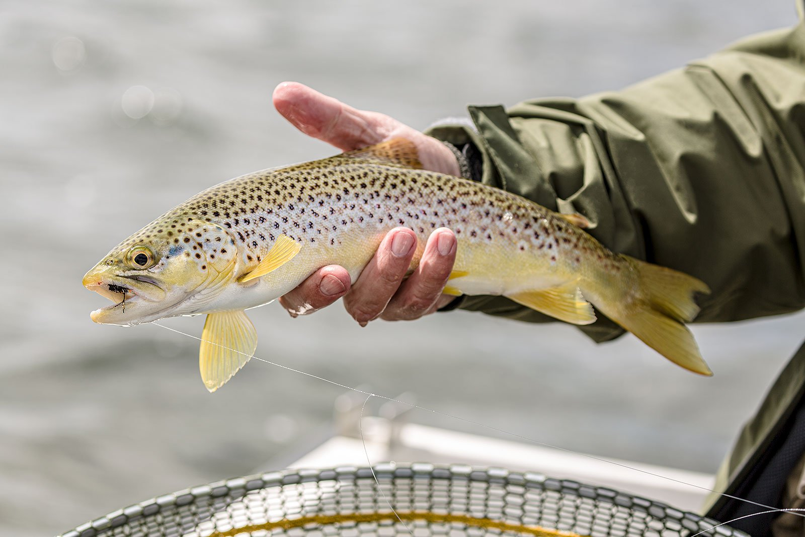 orkney, trout fishing, Sanday, wild brown trout, fly fishing, brownie, dry fly
