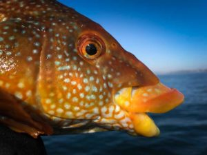 Ballan Wrasse, Saltwater, predator fishing, orvisuk, alba game fishing, sea fishing, shore fishing, dropshot