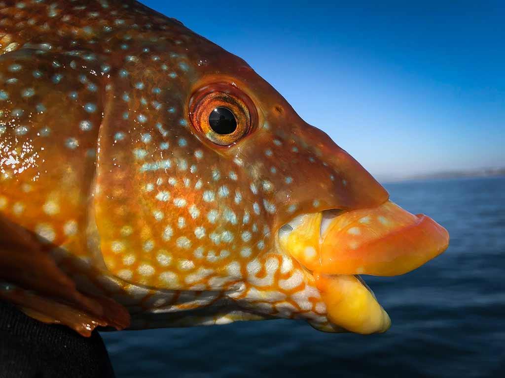 Ballan Wrasse, Saltwater, predator fishing, orvisuk, alba game fishing, sea fishing, shore fishing, dropshot