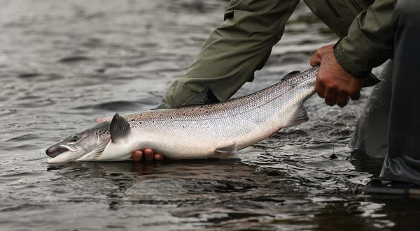 salmon, River Tay, River Earn, River Ericht, River Tummel, fresh, Atlantic Salmon, catch and release, Autumn, Cock fish