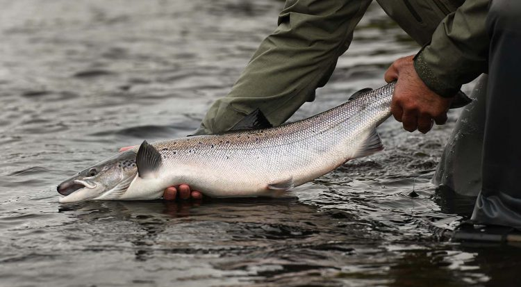 salmon, River Tay, River Earn, River Ericht, River Tummel, fresh, Atlantic Salmon, catch and release, Autumn, Cock fish