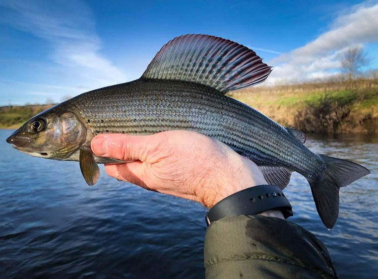 grayling, euronymphing, scotland, river Teviot, river tweed, sage ESN, Sage ESN reel, LTD net